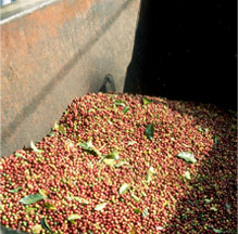 Bulk Coffee Cherries