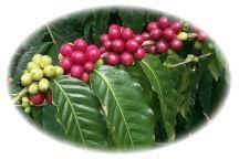 Beautiful Kona Coffee Cherries