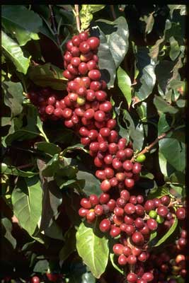 Mexican Coffee Cherries