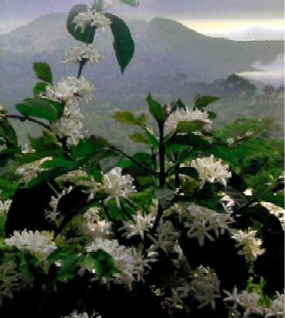 Magnificent Coffee Blossoms