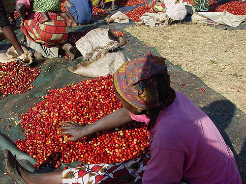 Sorting Coffee Cherries